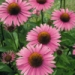 echinacea_purpurea_extract