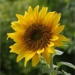 sunflower_lecithin